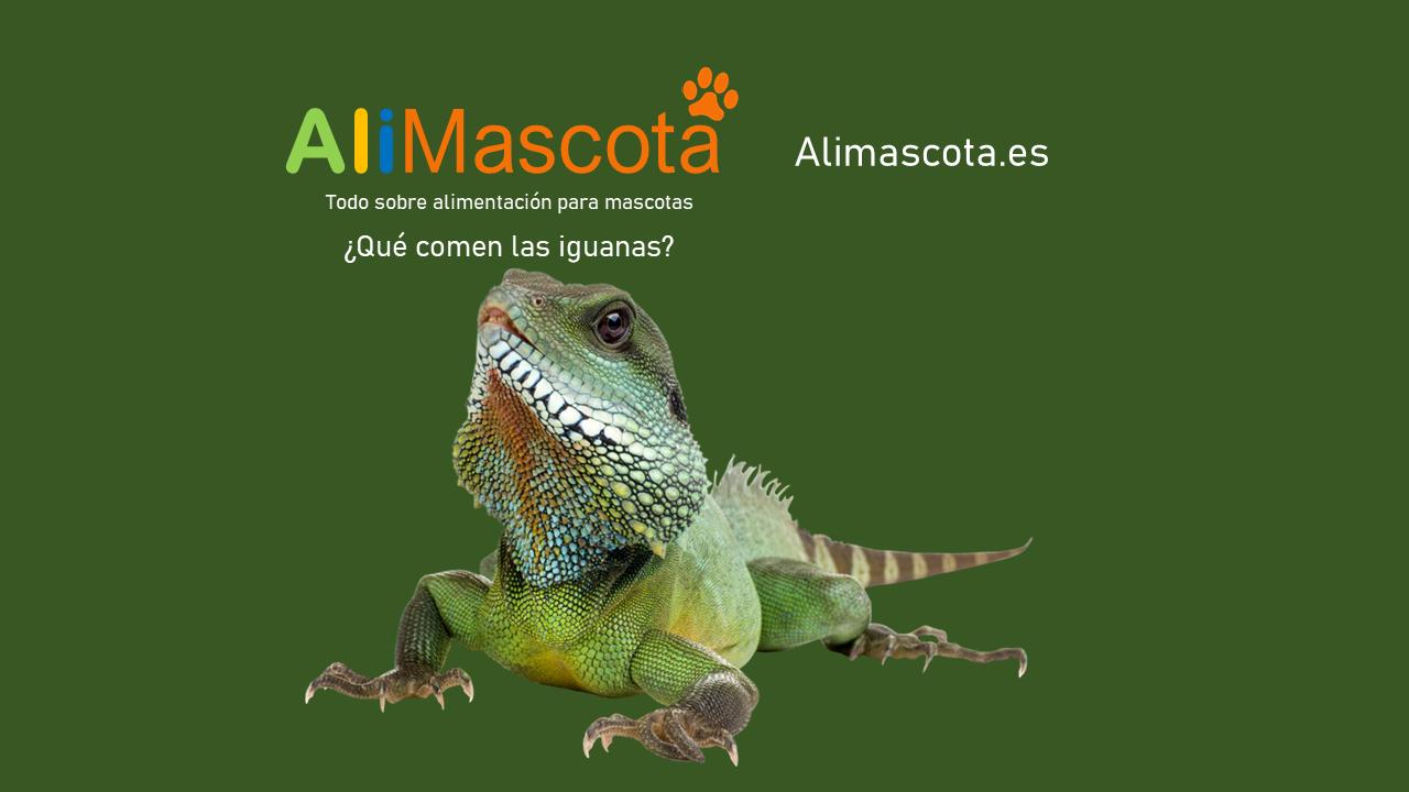 Qué comen las iguanas