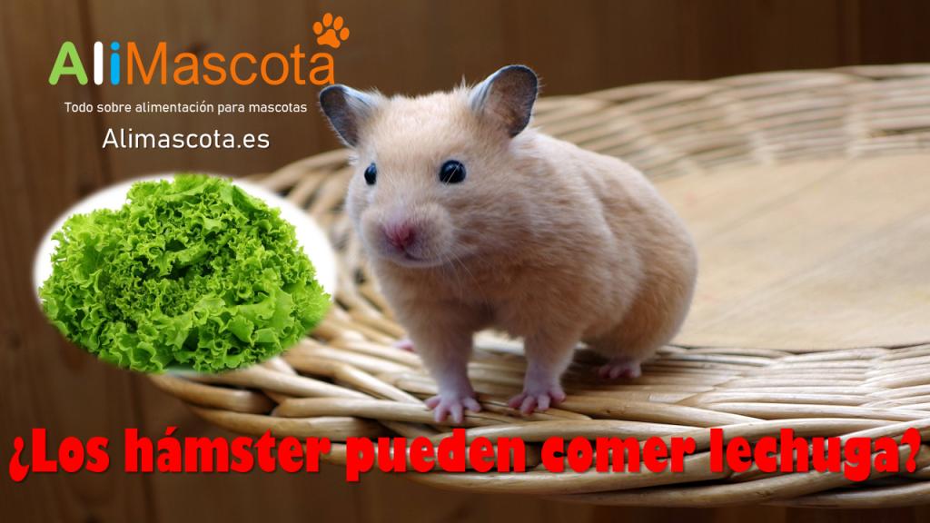 Los hamster pueden comer lechuga
