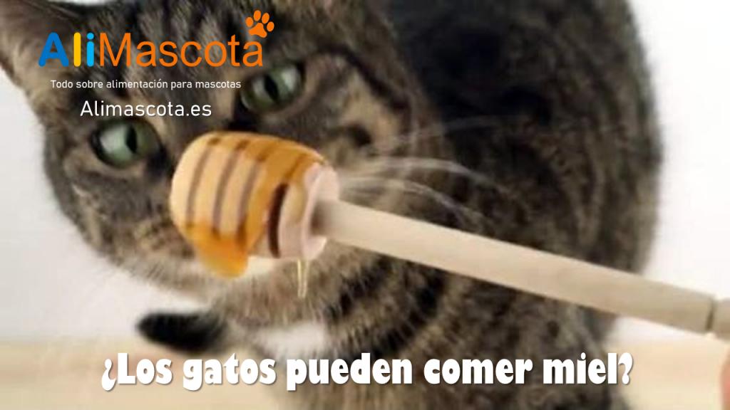 Los gatos pueden comer miel