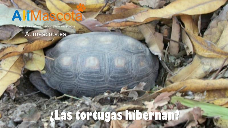 Las tortugas hibernan