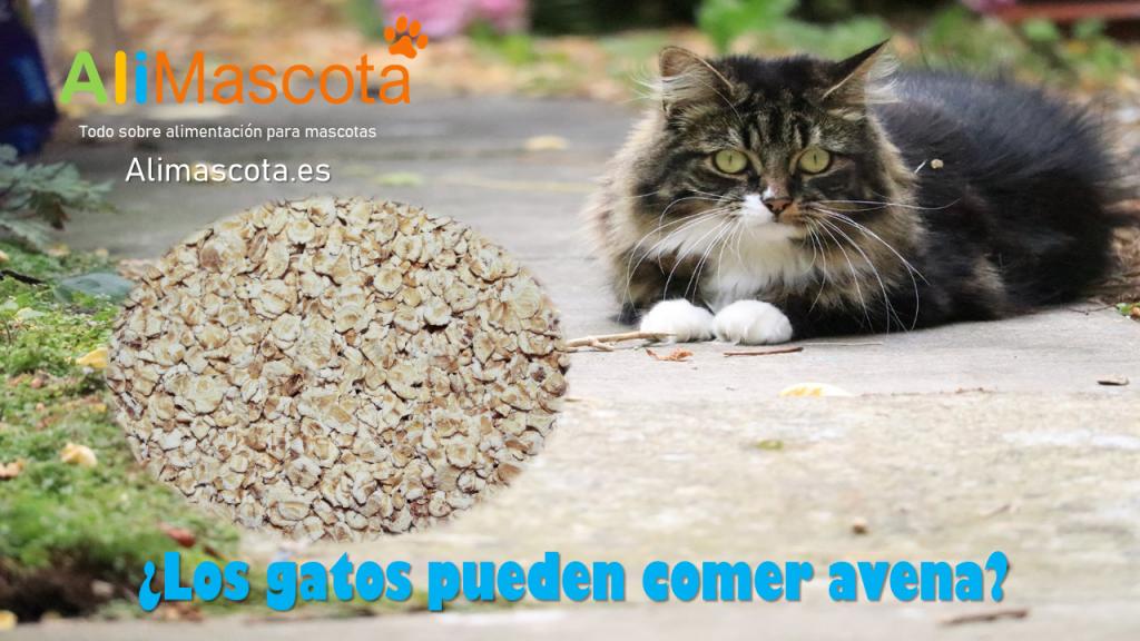 Los gatos pueden comer avena
