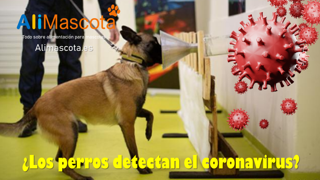 Los perros detectan el coronavirus