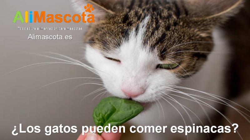 Los gatos pueden comer espinacas
