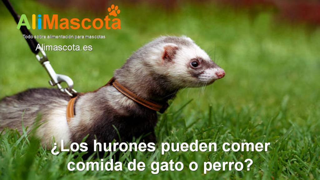 Los hurones pueden comer comida de perro o gato