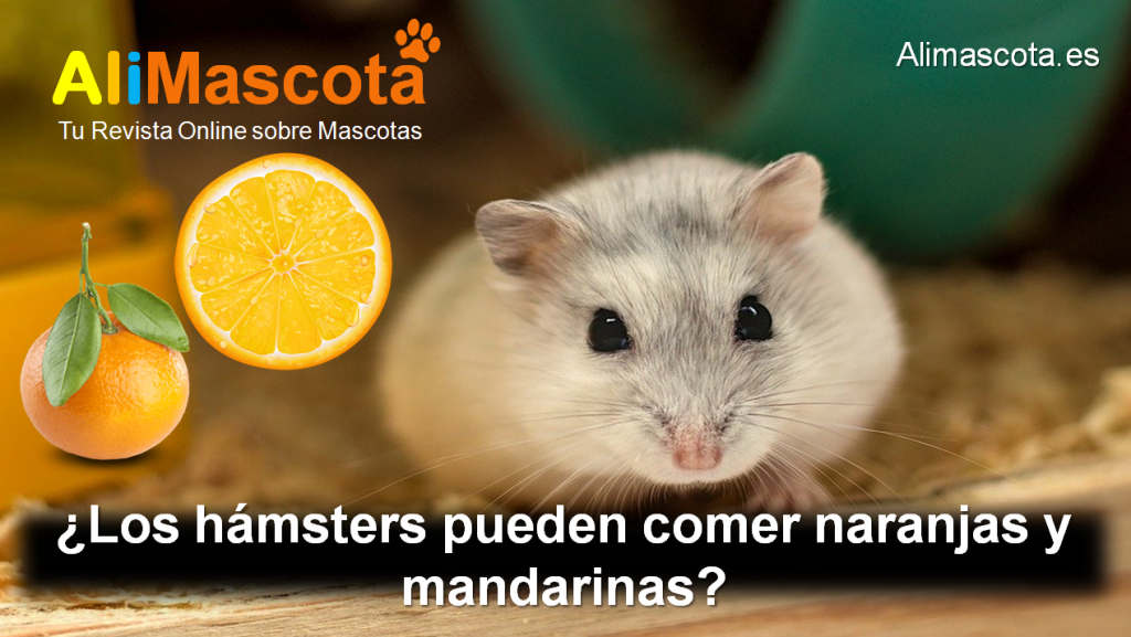 Los hámsters pueden comer naranjas y mandarinas