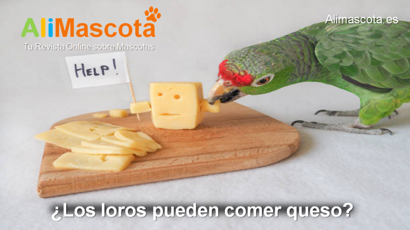 Los loros pueden comer queso
