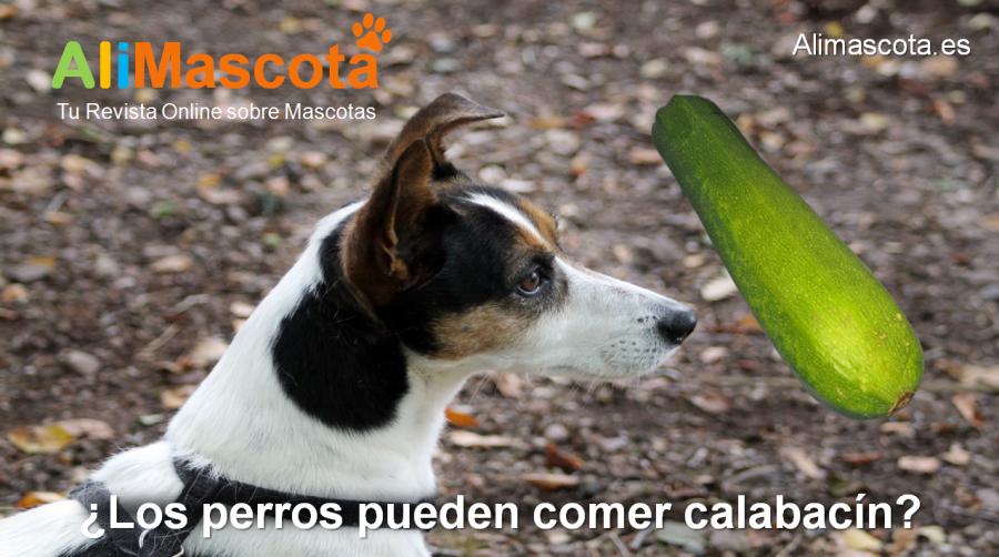 Los perros pueden comer calabacín