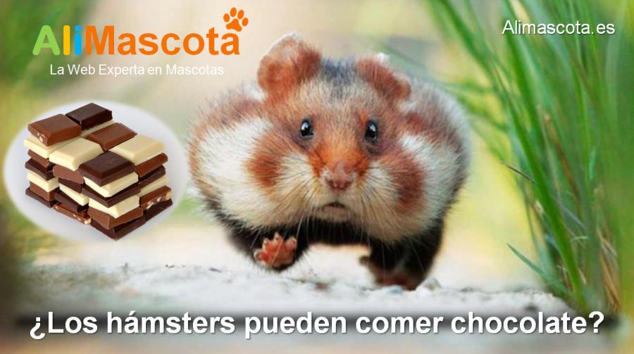 los hámsters pueden comer chocolate