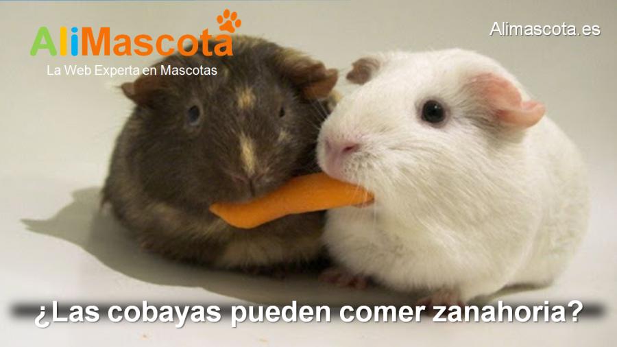 las cobayas pueden comer zanahoria