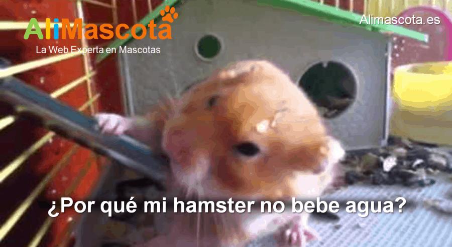 por qué mi hamster no bebe agua