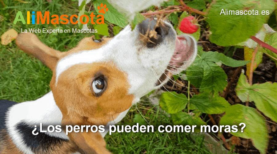 los perros pueden comer moras