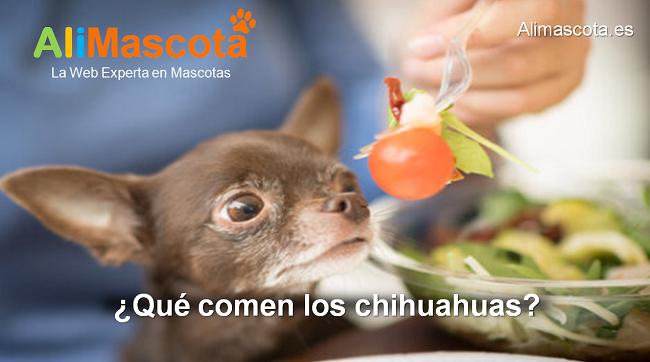 qué comen los chihuahuas