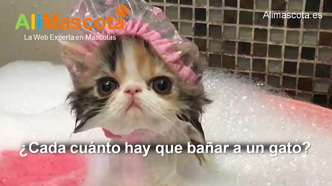 cada cuánto hay que bañar a un gato