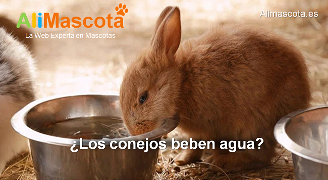 los conejos beben agua