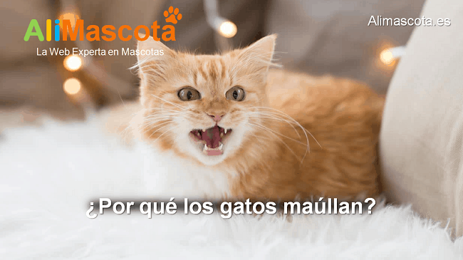 por qué los gatos maúllan